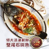 【築地一番鮮】特大活凍新鮮整尾石斑魚3尾(530g/尾)免運組